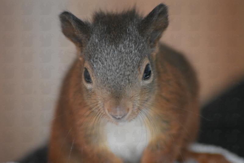 Aktion Eichhörnchen e.V.